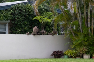 Peafowl Family on Florida Neighborhood Wall