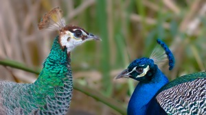 Peahen (female) and Peacock (male)