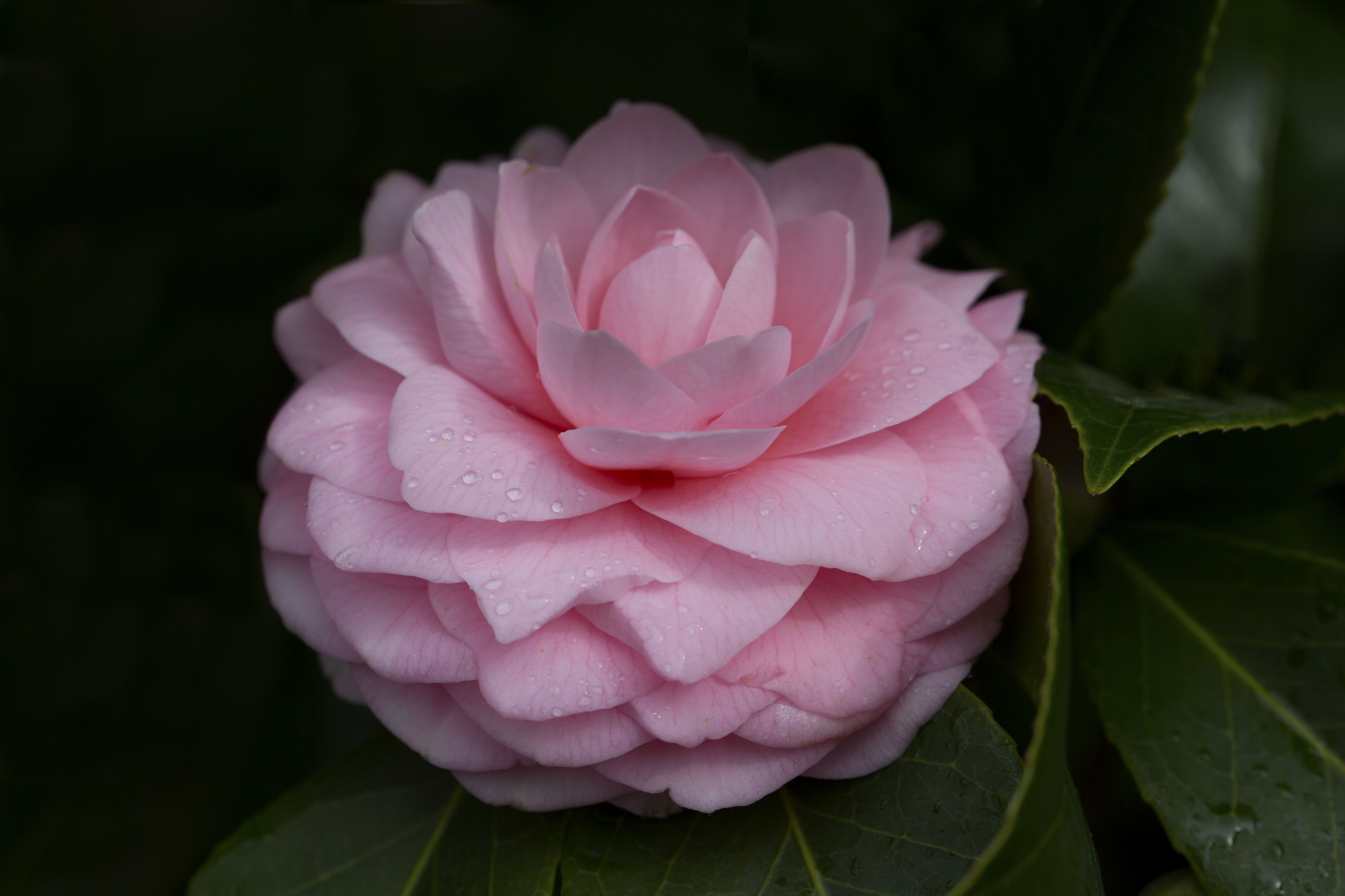 Layered Delicate Pink Camellia Flower Naturetime