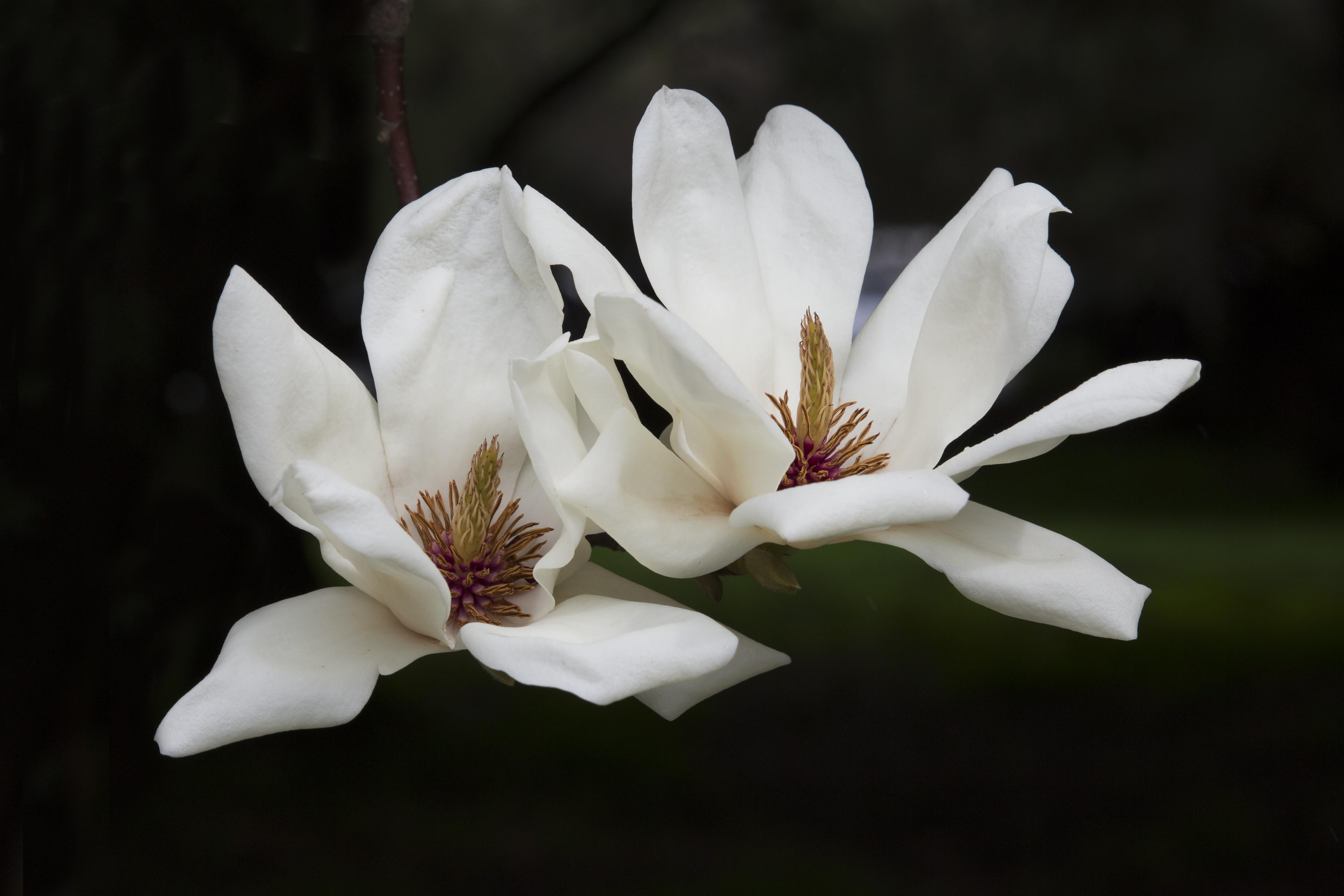White Magnolia Flower Pair Naturetime