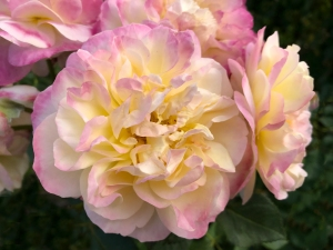 Pink and Cream Rose