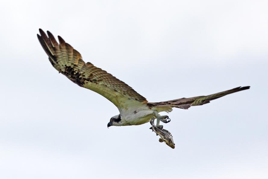 Osprey with Sea Bass