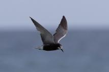 Rare Black Tern